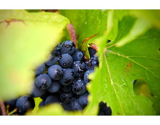 10 Benefits of Grape Seed Extract, Based on Science